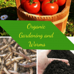Organic Gardening and Worms bucket of tomatoes, composting worms, and worm castings.