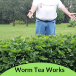 Worm Tea Work Wonders Strawberry bed that has been treated with worm tea