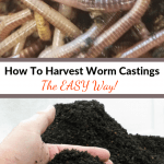 How To Harvest Worm Castings composting worms and worm castings.