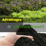 Advantages of Vermicompost lettuce garden and vermicompost.