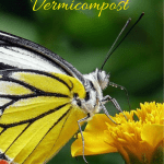 Advantages of Vermicompost yellow butterfly pollinating a flower