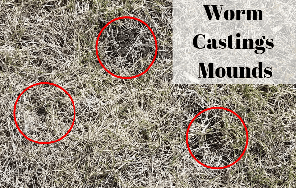 Worm Castings Mounds in the lawn