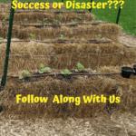 Straw Bale Gardening 15 straw bales planted