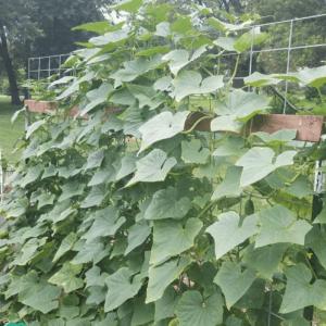 Earthworm Naturals Cucumber test plot