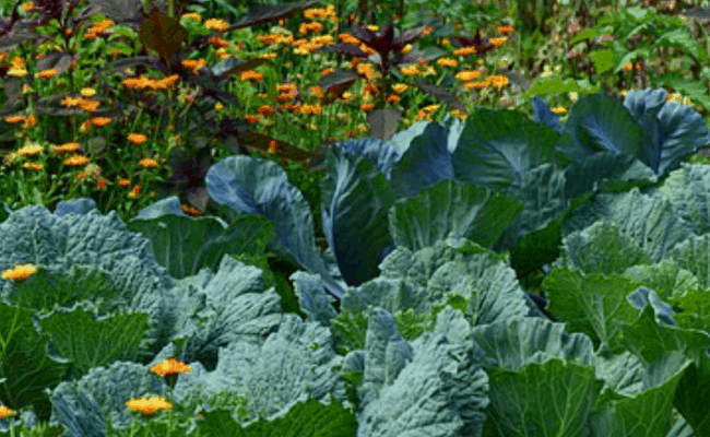 Organic Gardening and Worms Cabbage and Flowers
