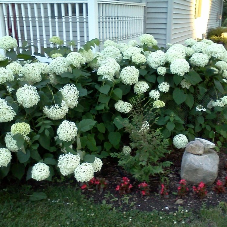 Hydrangeas grown on our worm farms.